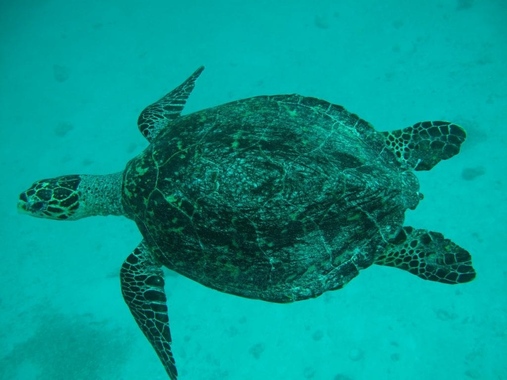 sea turtle sighting Maldives