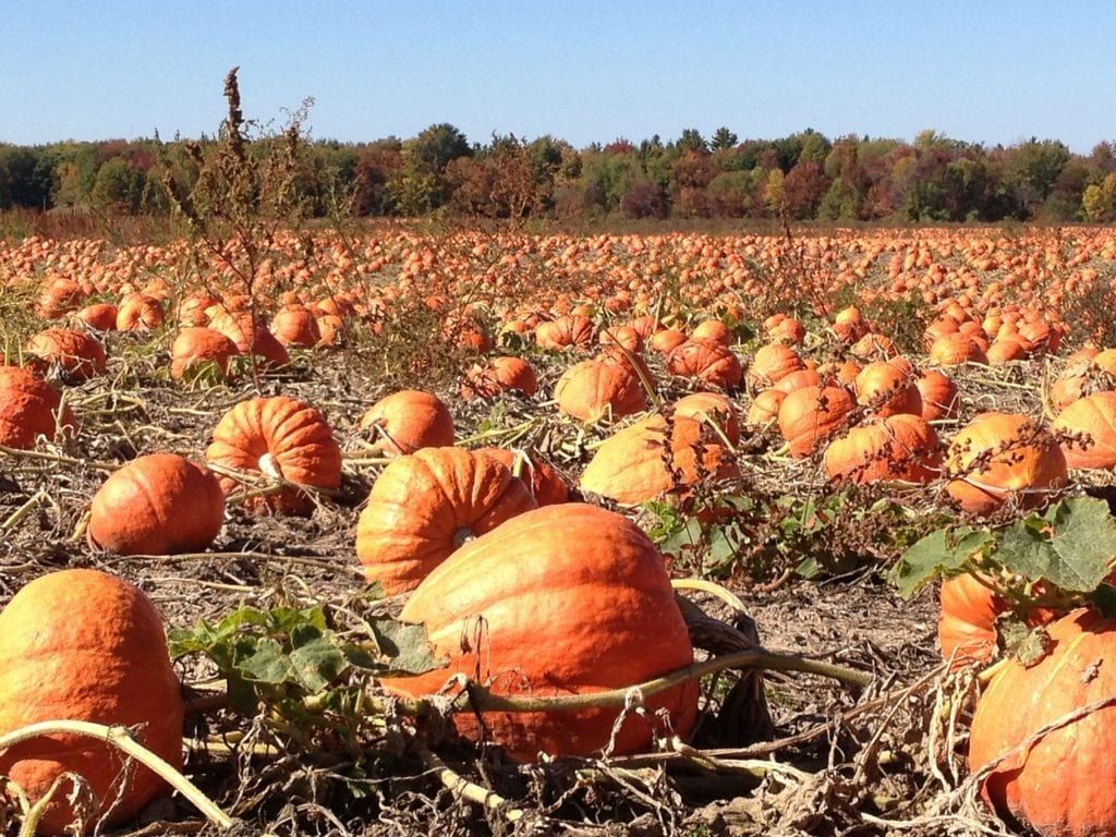 where is your favorite pumpkin patch?