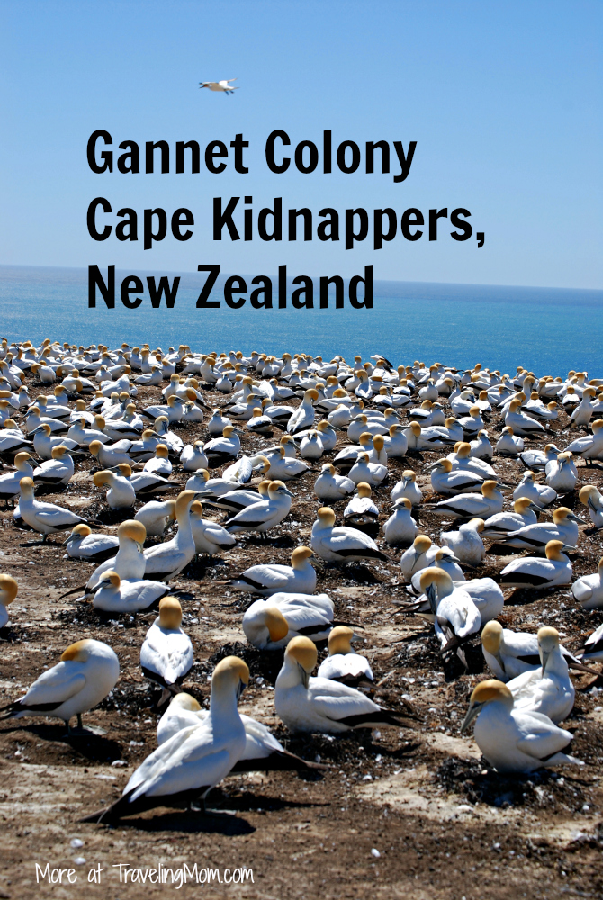 Gannet Colony Cape Kidnappers New Zealand