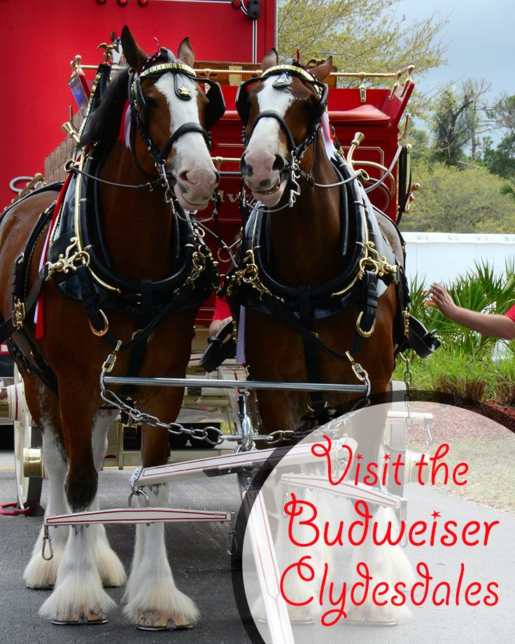 Visit the Budweiser Clydesdales in Missouri