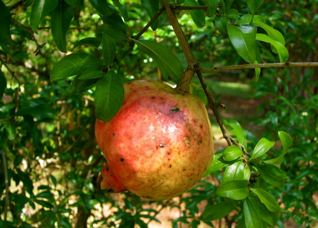 This pomegranate provides a sample of fall colors in the Deep South.