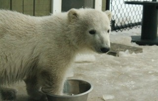 Humphrey, the Toronto Zoo's newest Polar Bear Cub.