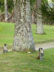 Photo by Jamie Bartosch/Suburban TravelingMom The green vervet monkeys, hanging out on the grounds of Ottley's Plantation Inn in St. Kitts.