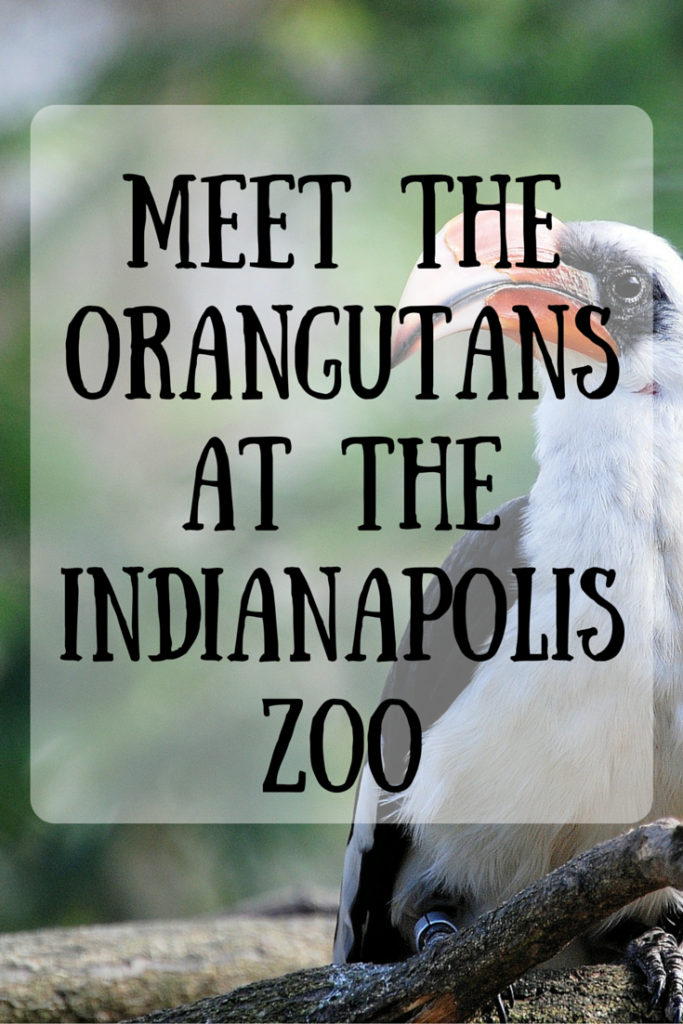 Meet the Orangutans at the Indianapolis Zoo