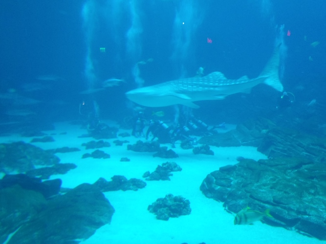 Gerogia Aquarium offers whale shark dives.