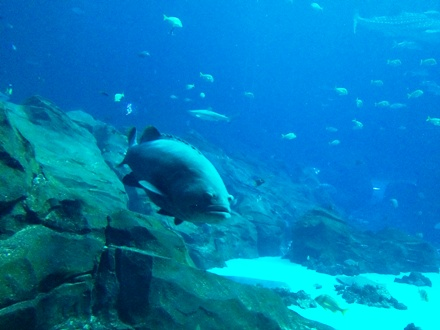 A giant grouper at the Georgia Aquarium, where they offer shark dives