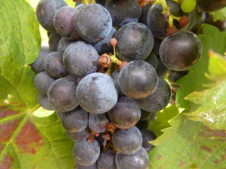 Ten varieties of grapes distinguish North Carolina wines. Photo by Blended Family TMOM Christine Tibbetts