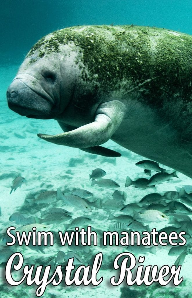 Swim with Manatees at the Plantation on Crystal River