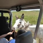 Photo by Jamie Bartosch/Suburban TravelingMom You can feed the donkeys during your Buffalo Jeep Safari in Custer State Park.