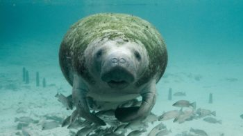 Manatee looking at the camera
