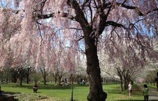 Kids playing near cherry trees in the Horticultural Center (photo Sarah Ricks)