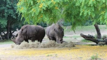 Rhinos- Visible from the Kilimanjaro Safaris in the Animal Kingdom.