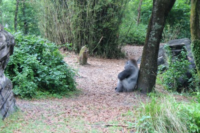 The Lowland Gorilla as seen from the bridge in the Pagani Forest Exploration Trail in the Animal Kingdom.