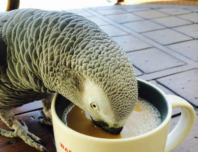 Mr. Pickles takes his morning coffee break. Photo by Dia Adams via Team Pickles.