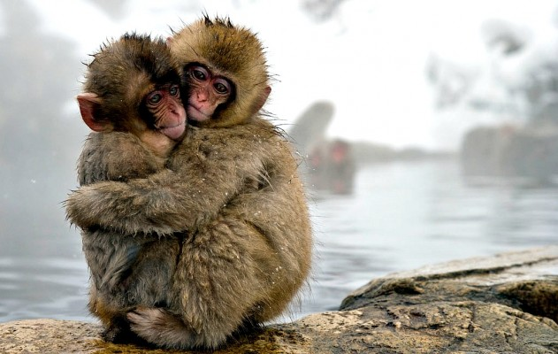 Jigokudani Monkey Park is in Japan, one of the best vacation spots in the world.