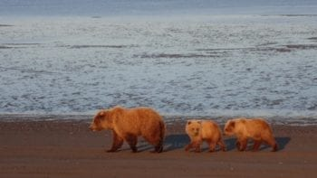 Alaskan bear and her cubs.