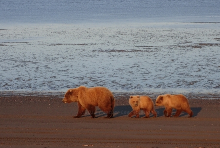 Best Places to See Bears – Up Close – in Alaska