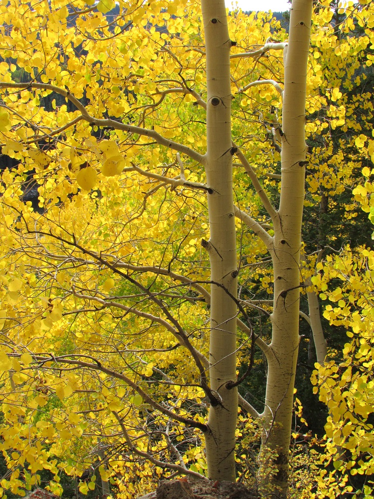 The breathtaking fall colors of Colorado's Grand Mesa.