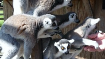 Florida vacations; Feed the lemurs at Safari Wilderness Ranch in Lakeland, Florida.