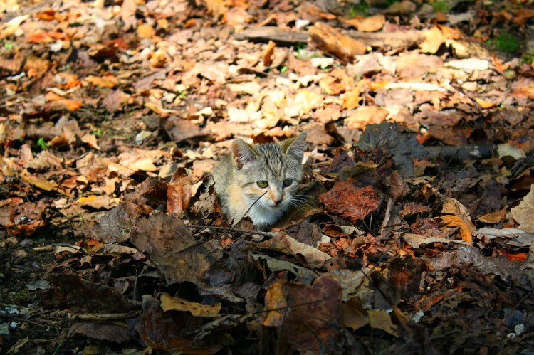 Even our kitten loved playing in the crinkly leaves of fall!