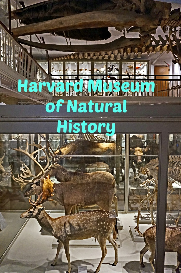 Great Mammal Hall at Harvard Museum of Natural History
