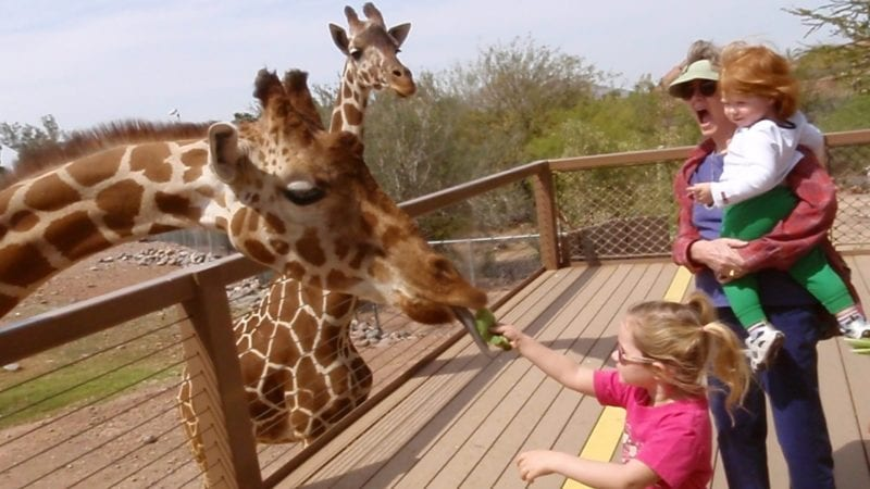 Feeding a Giraffe at the Phoenix Zoo