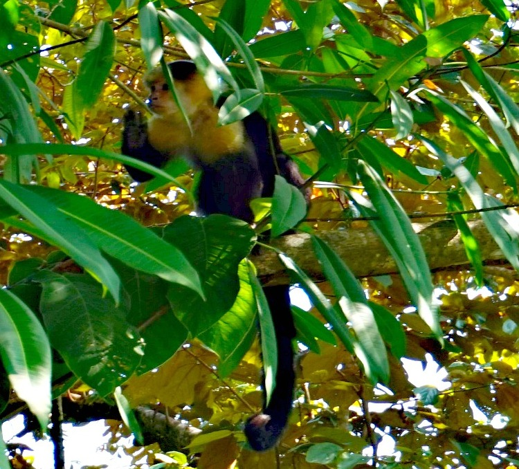 White Face Monkey in Manuel Antonio National Park