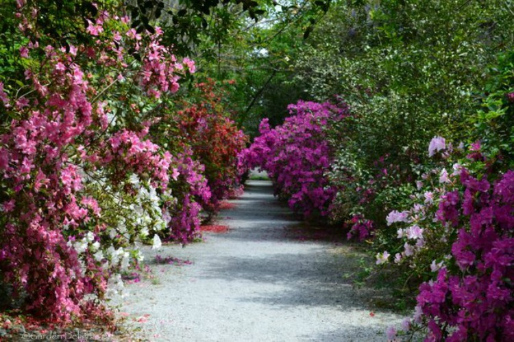 Stunning azaleas line paths throughout the gardens.