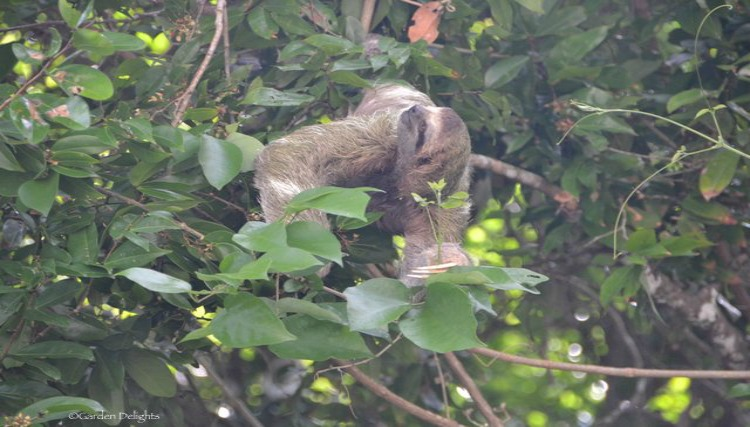 One of many sloths to see in Costa Rica.
