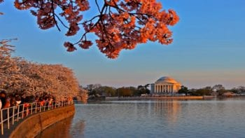 Washington D,C. Cherry Blossom