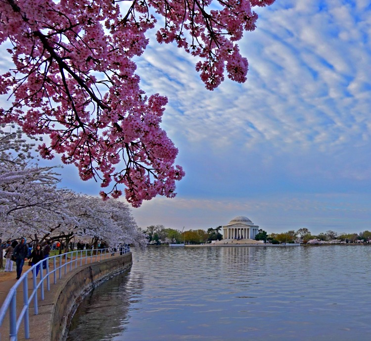 Willard Intercontinental Washington D.C. is a perfect location for Cherry Blossom festivities - photo by Yvonne Jasinski Credit Card TravelingMom