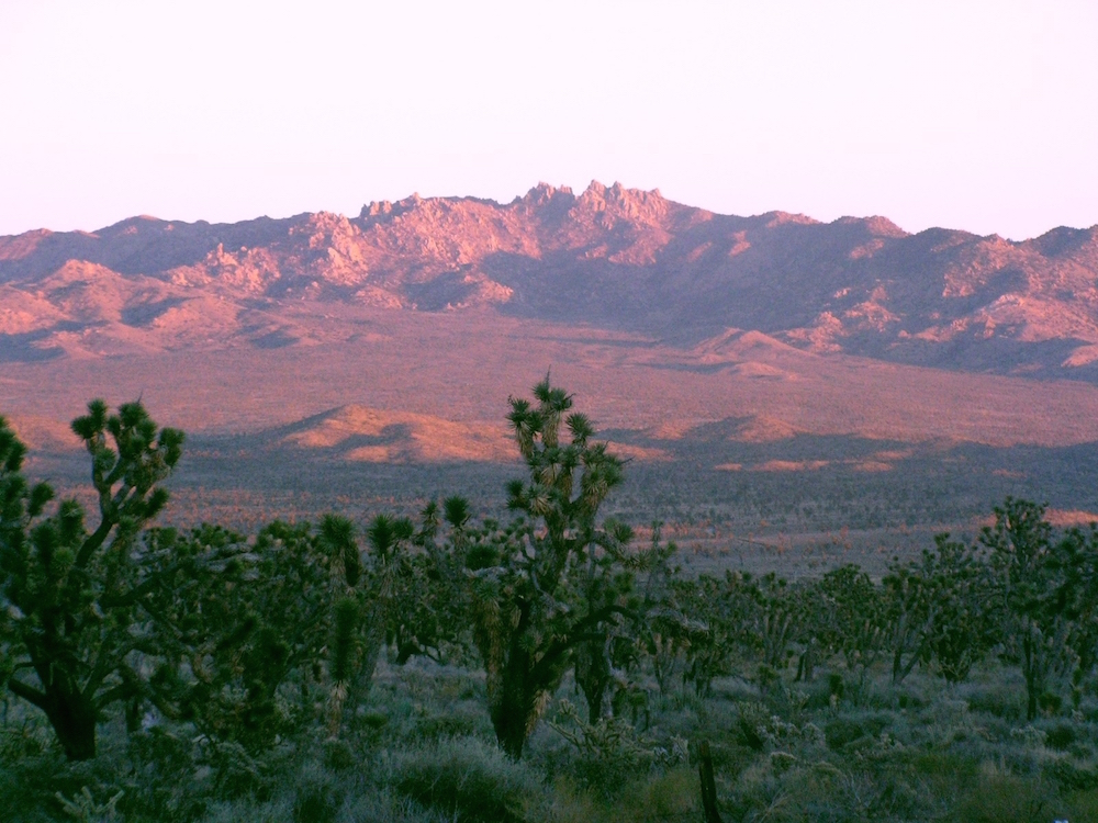 Joshua trees are the predominate feature of the Mojave Desert. national parks, NPS,