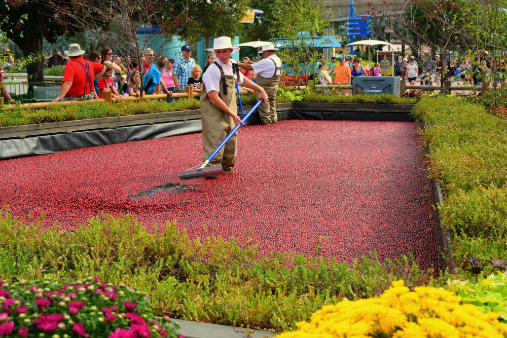 Checking out a cranberry bog during Epcot International Food & Wine Festival will give the kids a lesson in why cranberries float! Photo Credit: Karyn Locke/Road Trip TMOM