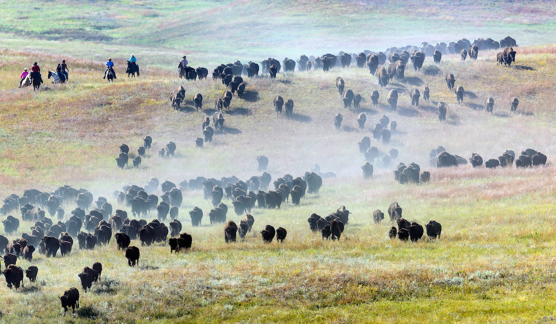 Custer State Park, Buffalo Roundup,