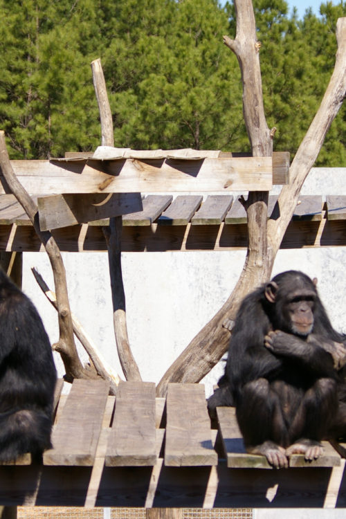 Chimp Haven Discovery Days is one of the best free things to do in Schrevepost-Bossier Louisiana