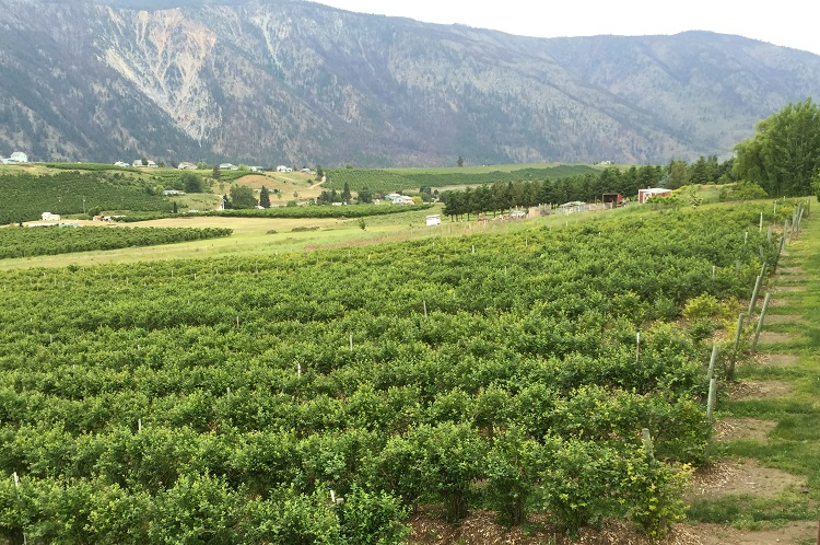 lake-chelan-blueberry-hills