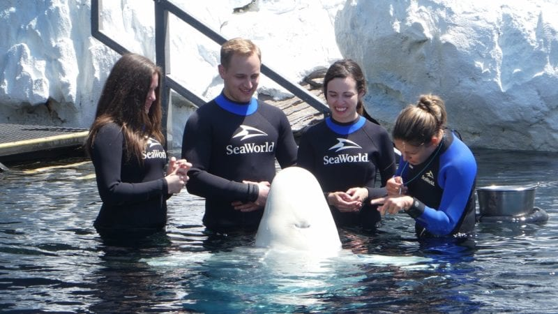 Sea World San Diego interacting with Beluga Whale up close