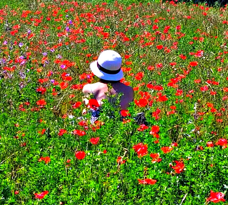 Lavender fields in Provence - how to plan a trip. Just another surprise, a poppy field!
