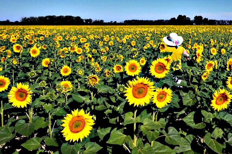 Sunflowers by Arles, Provence