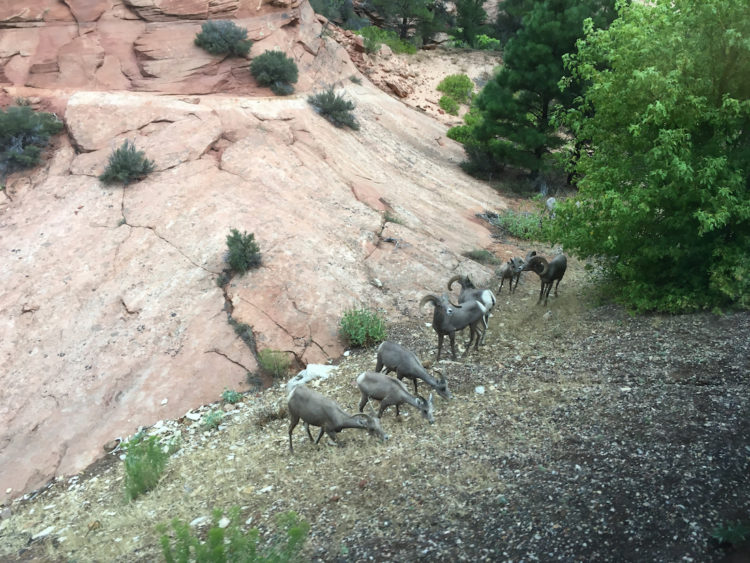 Big Horn Sheep in Zion, what to do with kids in Zion, the Mighty 5, Zion National Park for kids,