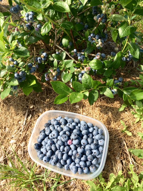 where can I pick blueberries in maine