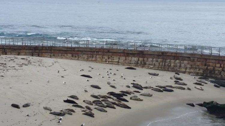 When visiting the Children's Pool at La Jolla beach you'll see many seals.