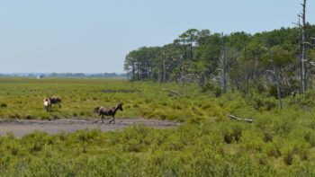 The leader of the group leading his herd back into the woods on Chincoteague Island.
