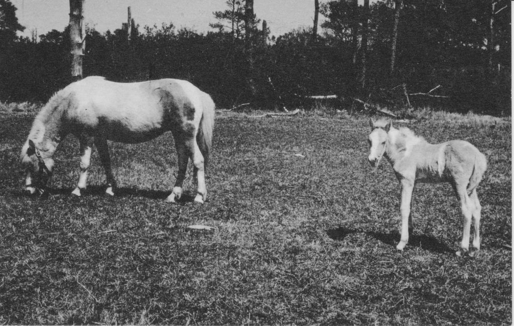 The famous Misty of Chincoteague Island (left) with one of her foals.