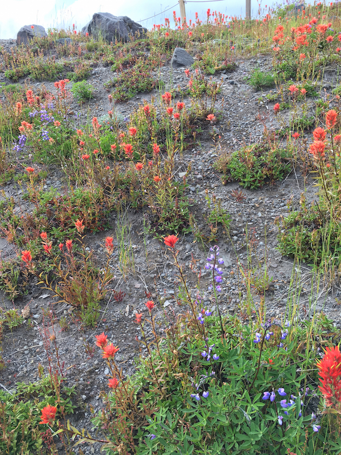 Mt St Helens with kids, wildflowers at Mount St. Helens, what to do at Mt St Helens,