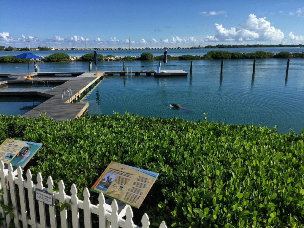 You can watch the dolphins play in the water without paying for a Dolphin Connection experience at Hawks Cay Resort.