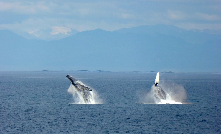 do you see many whales cruising alaska