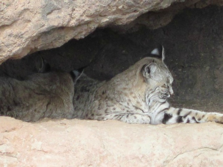 A bobcat can usually be seen during a visit to the Cat Canyon at the Arizona-Sonora Desert Museum. Photo by Multidimensional TravelingMom, Kristi Mehes.