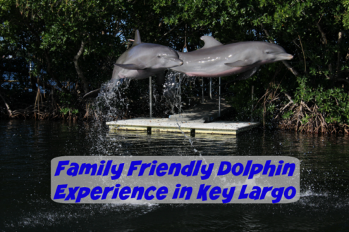 Playful dolphins at Dolphins Plus in key Largo Florida.