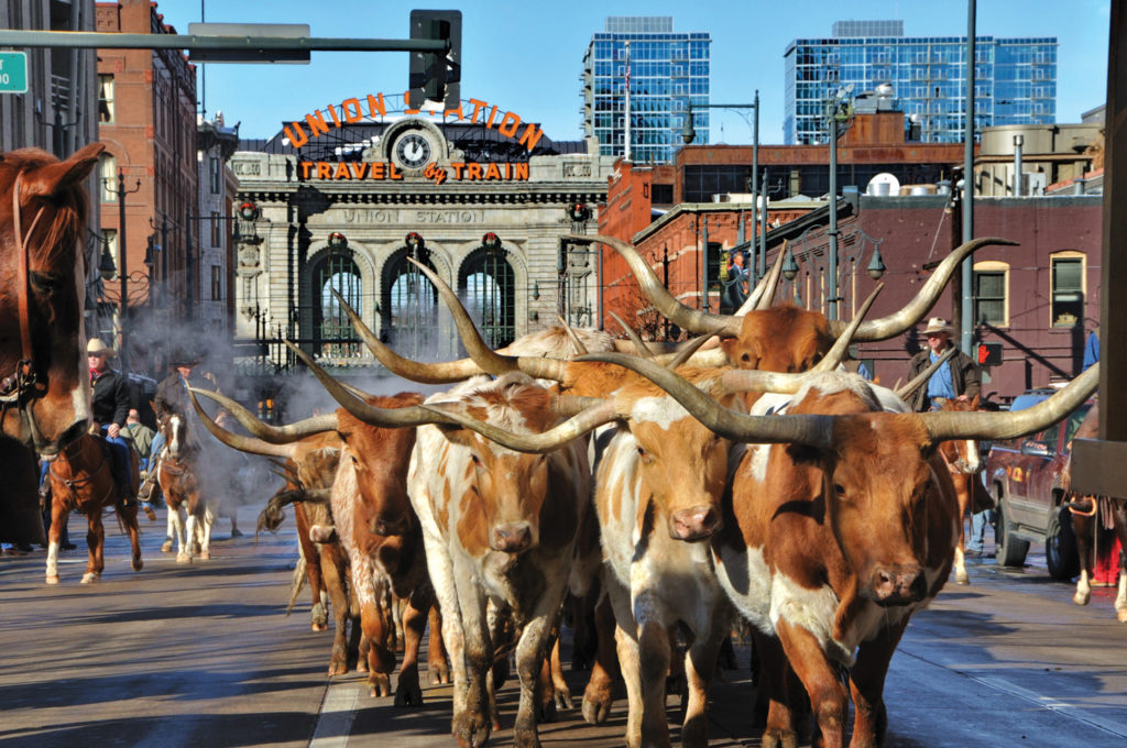 Longhorn steer leave Union Station at the beginning of the National Western Stock Show Parade in downtown Denver. Photo credit: Steve Crecelius and VISIT DENVER